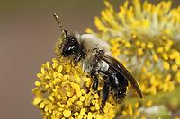 Weiden-Sandbiene, Nahrungssuche an Weidenkätzchen, Auen-Sandbiene, Auensandbiene, Weidensandbiene, Sandbiene, Sandbienen, Andrena vaga, Andrena ovina, Grey-Backed Mining-Bee