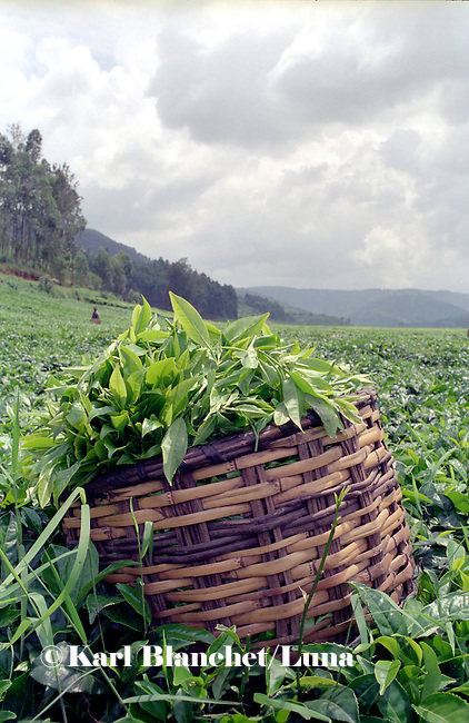Traditional basket full of black tea leaves in the plantation of Rulindo, Rwanda