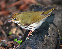 Ovenbird in spring migration