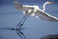 A great egret (Ardea alba) takes off in Elkhorn Slough - Moss Landing, California.