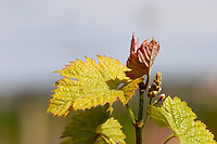new leaves and flower buds ch moulin du cadet saint emilion bordeaux france