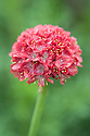 Armeria pseudarmeria 'Joystick Red', a hybrid selection of Thrift, mid May. Plants form a low mound of evergreen leaves, bearing upright stems of rose to red pompon flowers beginning in late spring.