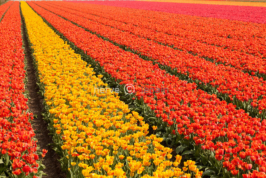 "Hollande, région des champs de fleurs, Lisse, champs de tulipes à perte de vue // Holland, ""Dune and Bulb Region"" in April, Lisse, here, fields of tulips."