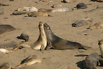 California, San Luis Obispo County:  Elephant Seals gather at Piedras Blancas beach.  Young males sparring..Photo caluis197-70976..Photo copyright Lee Foster, www.fostertravel.com, 510-549-2202, lee@fostertravel.com