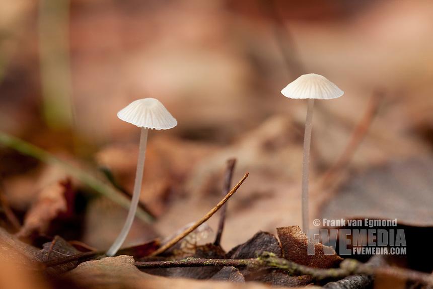 Earthy Inocybe. Fall 2010, Herperduin, Herpen, The Netherlands.