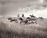 USA, Montana, horses running by cowboys at dusk, Gallatin National Forest, Emigrant (B&W)
