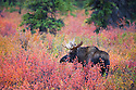 Alaska, Denali National Park; Bull moose amongst dwarf birch bushes in fall colors, rutting season