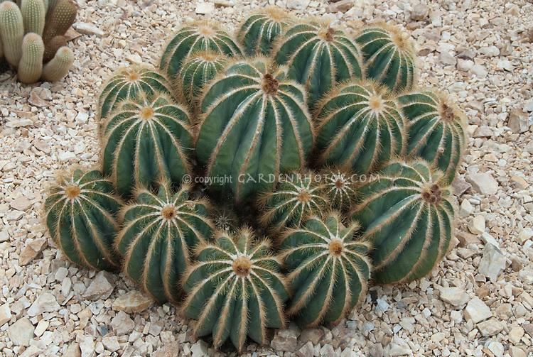Parodia magnifica (Ball Cactus)