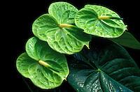 Anthurium cv. Midori