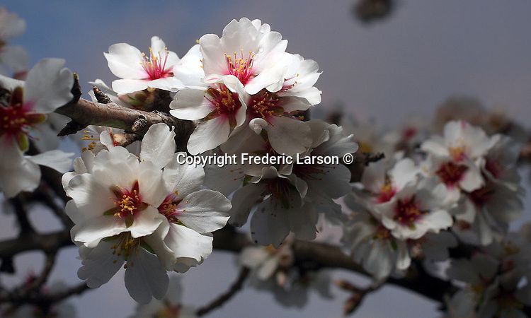 A cherry blossom tree in Napa Valley, California.