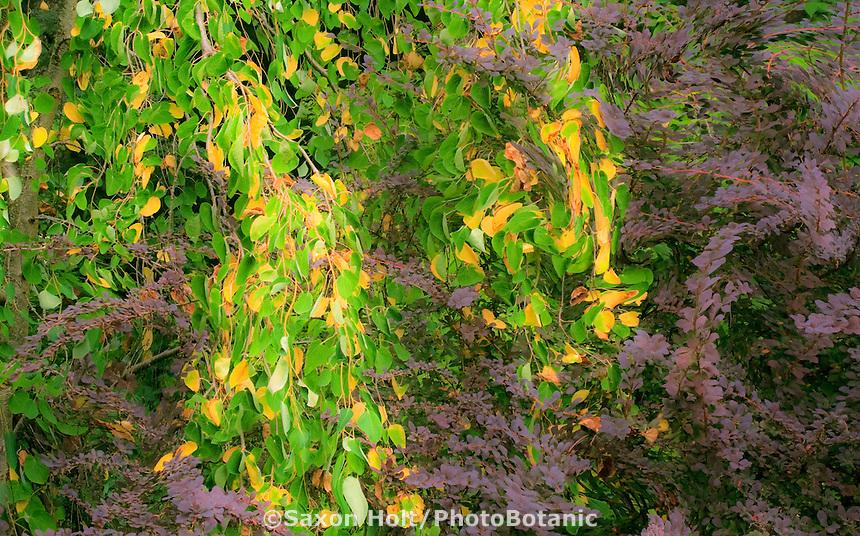 Katsura, Berberis tapestry curtain in foliage shrub border; Beth's Garden, September.