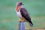 HAWKS; red-tailed hawk