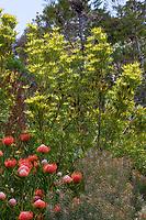 """Leucadendron """"Pisa"""" - Conebush, flowering shrub; UC Santa Cruz Arboretum & Botanic Garden"""