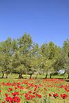 Israel, Negev, Anemone flowers in Beeri forest