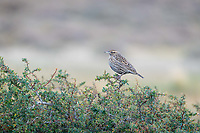 Female Long-Tailed Meadowlark (Leistes loyca), taking a break from the many male suitors buzzing around the area.