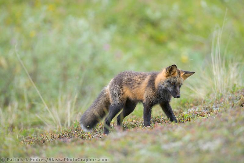 Cross fox (red fox), Denali National Park, Alaska