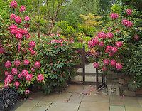 Vashon-Maury Island, WA: Rhododendrons 'President Roosevelt' blooming against a wooden gate beckoning visitors into a secluded garden