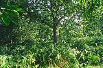 A292Y8 Sweet chestnut tree and bracken in mid summer woodland Suffolk England