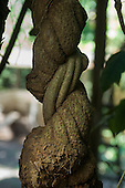 Amazon, Brazil. Ayahuasca hallucinogenic vine.