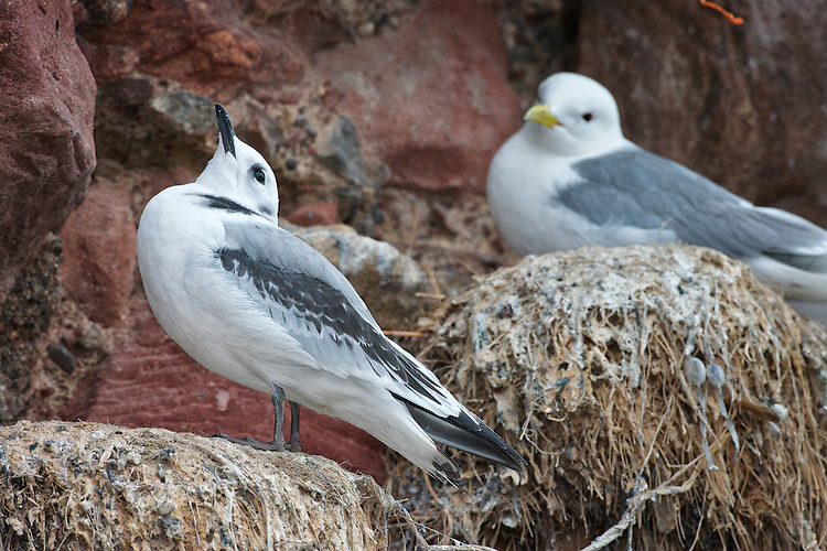 Black-legged kittiwake (Rissa tridactyla) Fledglings on nest. Looking out for the return of either parent to recieve a meal. Both parents forage for the chick, as it expends energy increasingly getting ready for flight, and eventually leaving the nest.