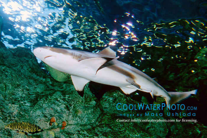 blacktip reef shark, male (c), .Charcharhinus melanopterus, .note claspers (Indo-Pacific).