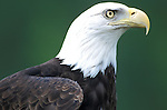 Bald Eagle, Haliaeetus leucocephalus, side proflie of head, hooked bill, bird of prey, .USA....