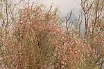 Israel, the Negev desert. Flowers of Moringa Peregrina in Wadi Gov