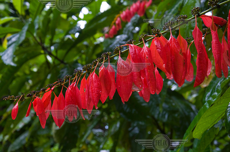 Red leaves on a tree in the tropical rainforest.