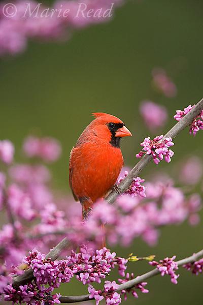 Northern Cardinal (Cardinalis cardinalis) male perched in flowering eastern redbud, New York, USA