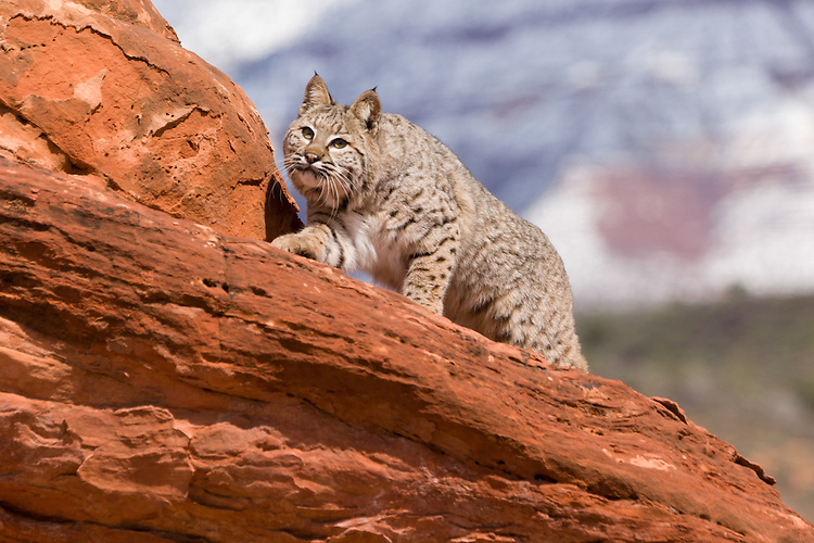 Bobcat climbing a red rock with a snow-covered mountain in the background - CA