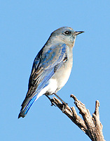 Adult gray female mountain bluebird