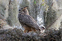Great horned owl and chick in nest