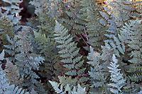 Myriopteris lindheimeri aka. Cheilanthes lindheimeri (Fairyswords, Fairy Swords, Lindheimer's Lip Fern), silver gray foliage fern in University of California Berkeley Botanic Garden