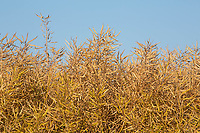 Oilseed rape ready for harvest<br /> &copy;Tim Scrivener Photographer 07850 303986<br />      ....Covering Agriculture In The UK....