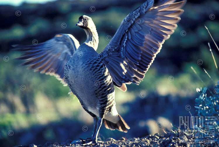 Nene, Hawaiian goose, state bird