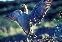 Nene, Hawaiian goose, state bird