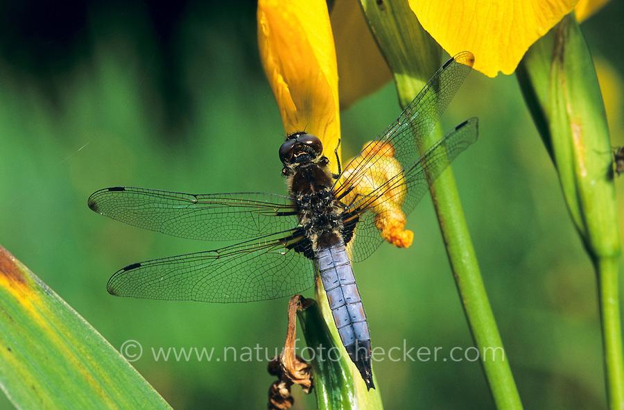 Spitzenfleck, Spitzenfleck-Libelle, Männchen, Libellula fulva, scarce chaser dragonfly, scarce libellula, male