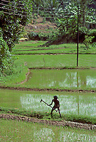 A man working in the paddy  fields near Kandy, Sri Lanka