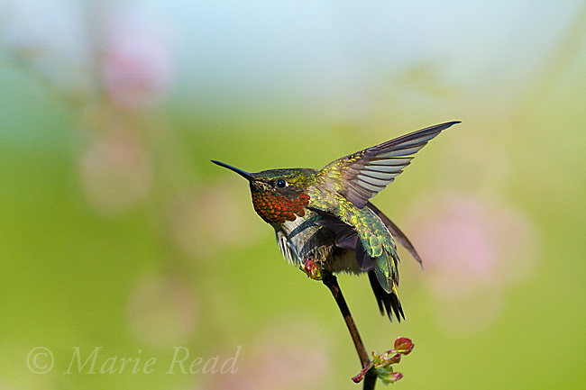 Ruby-throated Hummingbird (Archilochus colubris), male stretching in spring, New York, USA
