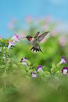 Ruby-throated Hummingbird (Archilochus colubris), male in flight feeding on Wishbone flower (Torenia fournieri), Hill Country, Texas, USA