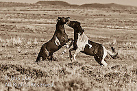 fightings mustangs,fighting MustangsMcCullough Peaks Mustangs Wild Horse Photography by western photographer Jess Lee. Pictures of mustangs in the West. Fine art images,Prints,photos Wild horse photo,wildhorses in the american west,