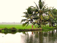 Beautiful serene paddy farm and palm trees along the placid calm backwaters of Alleppey Kerala