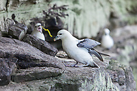 An angry fulmar projectile vomits at the intruder.