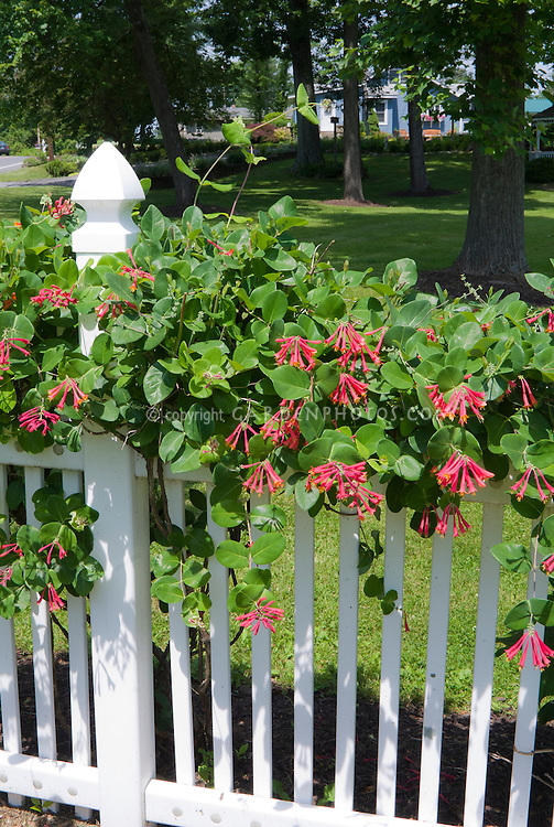Honeysuckle Fragrant Climbing Vine Plant Flower Stock