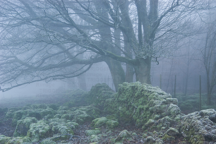 Frost covered trees behind the crumbling, moss-covered remains of a dry stone wall on a misty morning. Lake District, Cumbria, UK