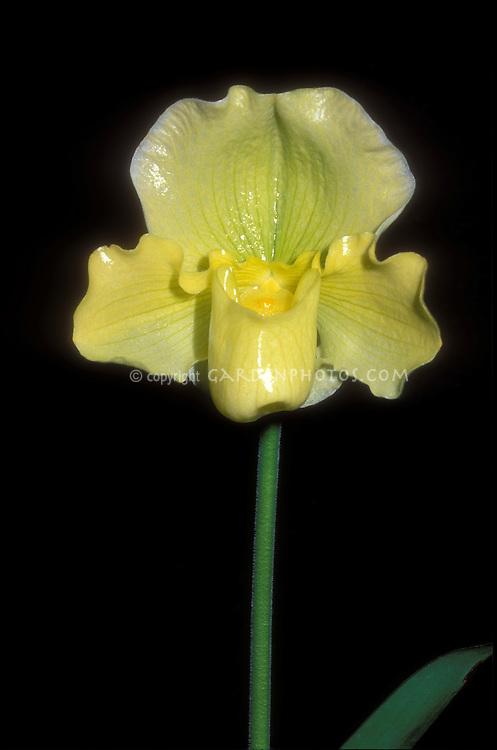 Paphiopedilum Rosalie 'Una' Complex Hybrid Orchid Paph