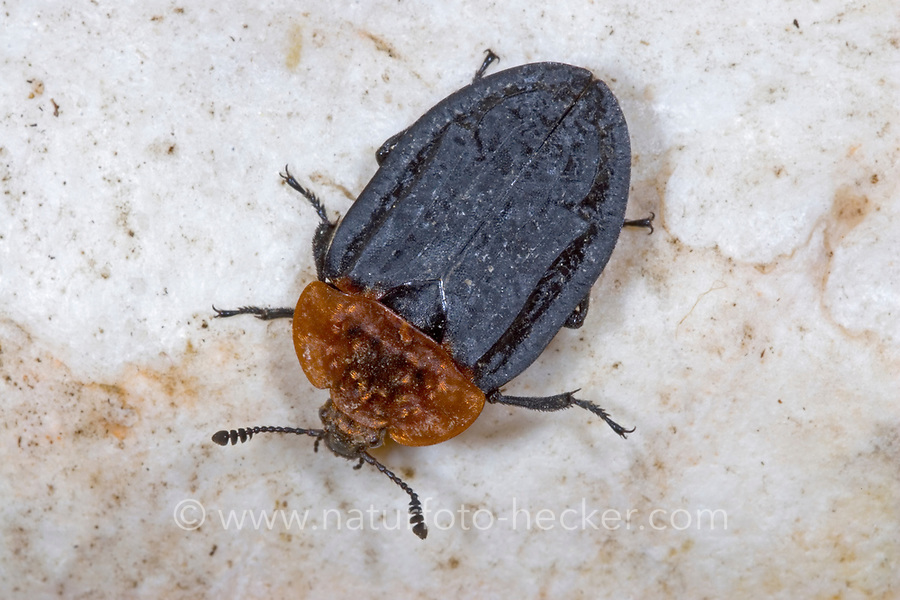 Rothalsige Silphe, Aaskäfer, Oiceoptoma thoracica, Oiceoptoma thoracicum, Oeceoptoma thoracicum, carrion beetles, burying beetles, carrion beetle, burying beetle, le Silphe à corselet rouge