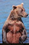 Alaskan Coastal Brown Bear Standing, Close Portrait, Silver Salmon Creek, Lake Clark National Park, Alaska