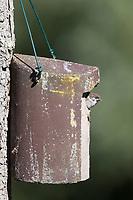 Feldspatz, Küken im Nistkasten, Vogelkasten, Feld-Spatz, Feldsperling, Feld-Sperling, Spatz, Spatzen, Sperling, Passer montanus, tree sparrow, nesting box, sparrows, Le Moineau friquet