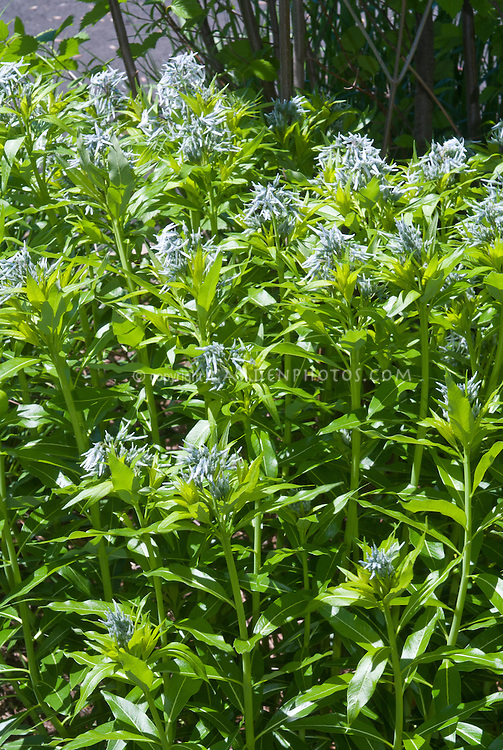 Amsonia taebernaemontana in spring blue flowers bloom